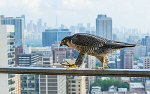 Peregrine falcon (Falco peregrinus) female, on balcony. Chicago, USA, May 2015.  -  Luke Massey