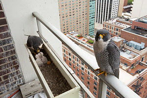 Peregrine falcon (Falco peregrinus) feeding chicks at nest in planter on urban balcony, Chicago, USA  -  Luke Massey