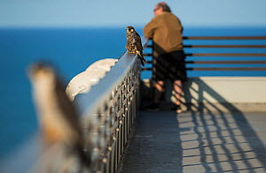 Peregrine falcon (Falco peregrinus) juvenile on balcony with female and human resident, Chicago, USA  -  Luke Massey