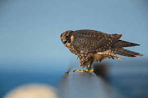 Peregrine falcon (Falco peregrinus) recently fledged juvenile, Chicago, USA  -  Luke Massey