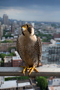 Peregrine falcon (Falco peregrinus) male on balcony, Chicago, USA  -  Luke Massey