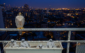 Peregrine falcon (Falco peregrinus) female at nest on balcony, Chicago, USA  -  Luke Massey