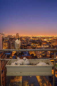 Peregrine falcon (Falco peregrinus) female at nest in ubran balcony with sunset and city lights behind, Chicago, USA  -  Luke Massey