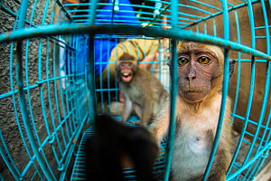 Two young long tailed macaques (Macaca fascicularis) sit inside a cage for sale at Pasty Market, Yogjakarta, Indonesia  -  Luke Massey