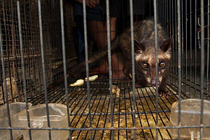 Asian palm civet (Paradocurus hermaphroditus) prowling its cage, for sale in market, Denpasar, Bali.  -  Luke Massey