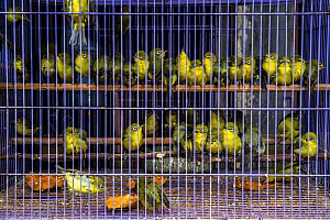 White-eyes (Zosterops sp.) wait in a cage at Denpasar Bird Market, Bali.  -  Luke Massey