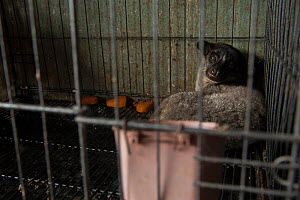 Small toothed palm civet (Arctogalidia trivirgata) for sale in Denpasar, Bali  -  Luke Massey