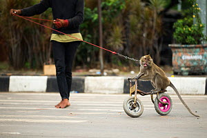 Crab eating macaque (Macaca fascicularis) used for Topeng Monyet (dancing monkeys) on bicycle pulled by owner, Bandung, Indonesia  -  Luke Massey
