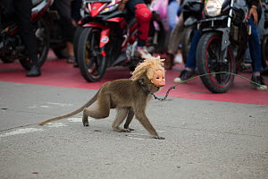 Crab eating macaque (Macaca fascicularis) used for Topeng Monyet (dancing monkeys). Wearing a doll mask and crossing the street, Bandung, Indonesia  -  Luke Massey