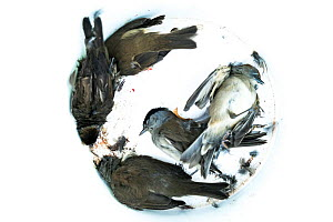 Blackcaps (Sylvia atricapilla) caught in a trappers net, dead in a bucket, Cyprus. October.  -  Luke Massey