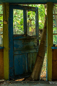 Tree growing up between a door and its frame in the Chernobyl Exlusion Zone, Ukraine September  -  Luke Massey