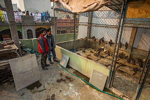 Nadeem and Saud Sherzad, two brothers with their rooftop soft release enclosure for Black kites (Milvus migrans) and other birds of prey, Delhi, India - Luke Massey