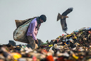 Man picking through litter on dump, with Black kites (Milvus migrans) over Ghazipur dump, Delhi, India  -  Luke Massey