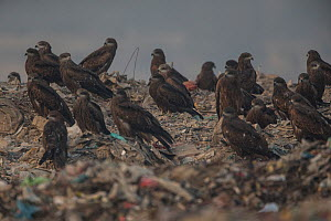 Black kites (Milvus migrans) flying over Ghazipur dump, Delhi, India  -  Luke Massey