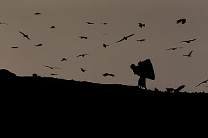 Black kites (Milvus migrans) over Ghazipur dump with garbage picker, Delhi, India  -  Luke Massey