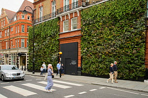 Green wall, Sloane Square, London, UK. This wall was a joint project between the J-Crew clothing store and Buglife. The wall of plants was designed to provide nectar for urban bees. August 2014  -  Terry  Whittaker