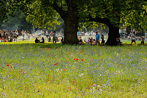 Wildflower meadow, full of native and non-native, annual and perennial wild flowers planted in an urban park, London Fields, Hackney, London UK July - Terry  Whittaker