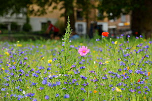 Wildflower meadow, full of native and non-native, annual and perennial wild flowers planted in an urban park, London Fields, Hackney, London UK July (This image may be licensed either as rights manage... - Terry  Whittaker