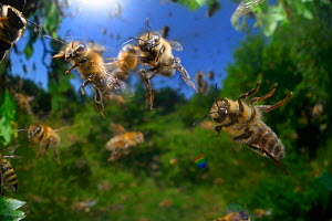 Honey bee (Apis mellifera) swarming. Kiel, Germany, June. - Solvin Zankl