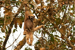 Western hoolock gibbon (Hookock hoolock) female in tree, Assam, India.  -  Sandesh  Kadur