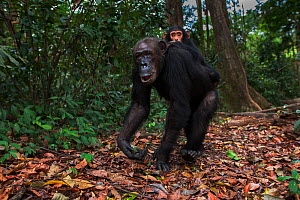 Eastern chimpanzee (Pan troglodytes schweinfurtheii) female 'gremlin' aged 41 years carrying her infant son 'Gizmo' aged 3 years walking along a forest trail. Gombe National Park, Tanzania. October 20... - Anup Shah