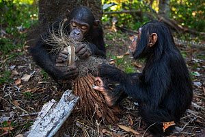 Eastern chimpanzee (Pan troglodytes schweinfurtheii) juvenile male 'Tom' aged 11 years and his infant sister 'Tabora' aged 5 years feeding on dried palm flowers. Gombe National Park, Tanzania. October... - Anup Shah