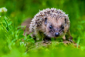 European hedgehog (Erinaceus europaeus) juvenile in grass, France. Controlled conditions. - Klein & Hubert