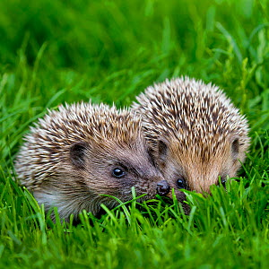 Two young European hedgehogs (Erinaceus europaeus) in grass, France. Controlled conditions. - Klein & Hubert