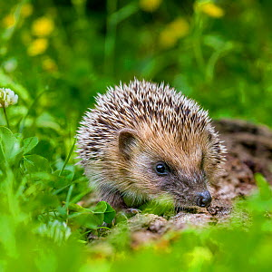 Young European hedgehog (Erinaceus europaeus) in grass, France. Controlled conditions. - Klein & Hubert