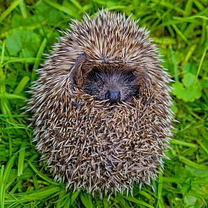 Young European hedgehog (Erinaceus europaeus) curled up in a ball in garden Controlled conditions. - Klein & Hubert