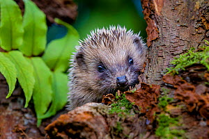 Young European hedgehog (Erinaceus europaeus) in garden, France Controlled conditions. - Klein & Hubert