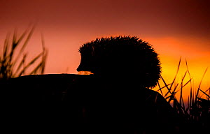 European hedgehog (Erinaceus europaeus)  silhouetted on rock at sunset,  Controlled conditions. - Klein & Hubert