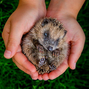 Young European hedgehog (Erinaceus europaeus) lying on his back in human hands, France. Controlled conditions. - Klein & Hubert