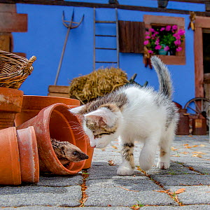 Tabby and white kitten interacting with young European hedgehog (Erinaceus europaeus) hiding in garden pots. France. Controlled conditions. - Klein & Hubert