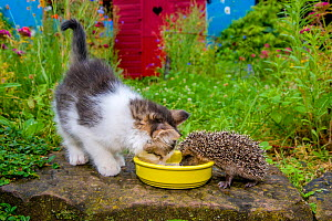 European hedgehog (Erinaceus europaeus) and tabby and white kitten eating catfood in garden. Controlled conditions. - Klein & Hubert