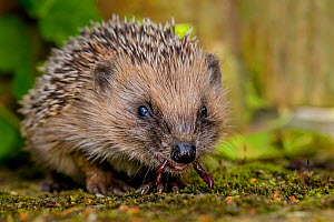 Young European hedgehog (Erinaceus europaeus) eating a worm in garden, France. Controlled conditions. - Klein & Hubert