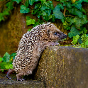 Young European hedgehog (Erinaceus europaeus) in garden, climbing up wall, France. Controlled conditions. - Klein & Hubert