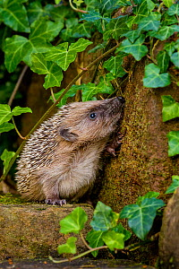European hedgehog (Erinaceus europaeus) in garden, standing against mossy wall with ivy leaves and sniffing, France. Controlled conditions. - Klein & Hubert