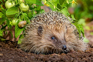 European hedgehog (Erinaceus europaeus) in kitchen garden near tomatoes, France Controlled conditions.  -  Klein & Hubert