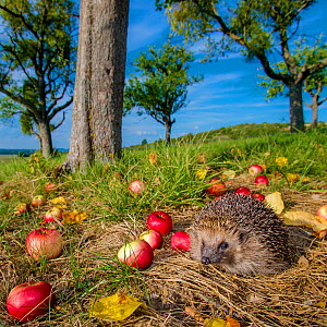 European hedgehog (Erinaceus europaeus) in orchard with fallen apples in autumn, France. Controlled conditions. - Klein & Hubert