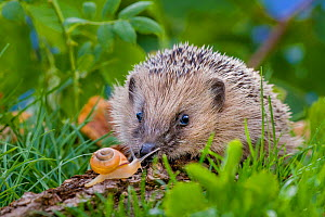 Young European hedgehog (Erinaceus europaeus) eating a Grove snail (Cepaea nemoralis) France. Controlled conditions. - Klein & Hubert