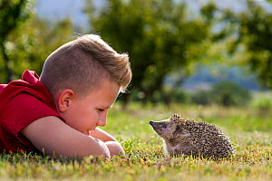 Teenage boy and European hedgehog (Erinaceus europaeus) watching each other in the evening, France.  Controlled conditions. Model Released. - Klein & Hubert