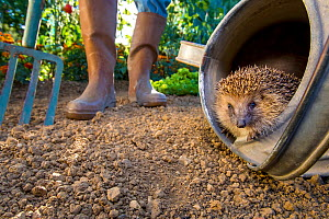 European hedgehog (Erinaceus europaeus)  hidden in a watering can with gardener behind,  France. Controlled conditions. - Klein & Hubert