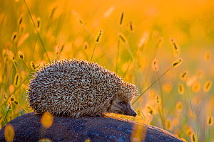 European hedgehog (Erinaceus europaeus) on a rock at sunset, in high grass, France. Controlled conditions. - Klein & Hubert