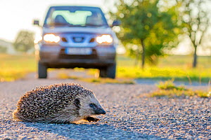 European hedgehog (Erinaceus europaeus) crossing road in the evening, with car in background, France. Controlled conditions. - Klein & Hubert