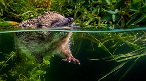 European hedgehog (Erinaceus europaeus) swimming in pond, split level view, France. Controlled conditions. - Klein & Hubert