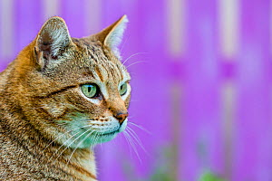 Tabby cat in front of pink wooden fence. - Klein & Hubert