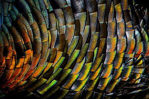 Domestic turkey (Meleagris gallopavo) male, close up of iridescence on feathers, France. - Klein & Hubert