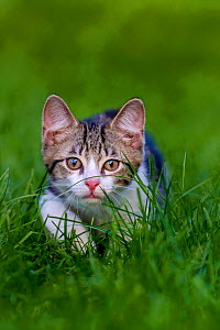 Tabby and white kitten age three months walking in grass - Klein & Hubert