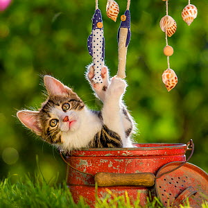 Tabby and white kitten, age 8 weeks, playing with decorative fishes, France  -  Klein & Hubert
